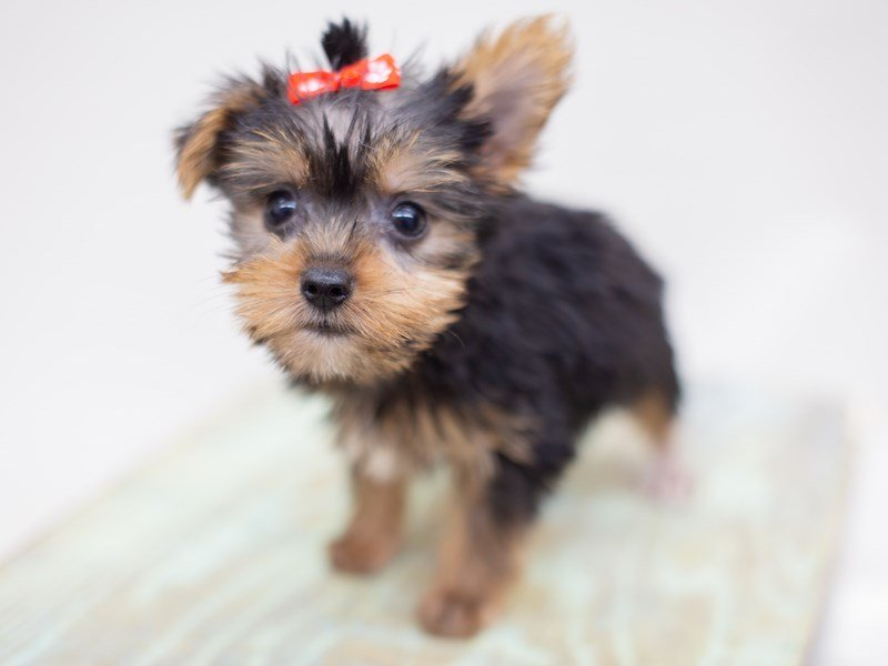 Yorkshire Terrier-Female-Black and Tan-2398984-Petland Wichita, KS