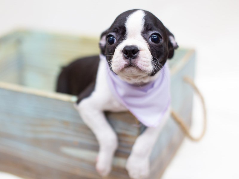 Boston Terrier-Female-Black and White-2398971-Petland Wichita, KS