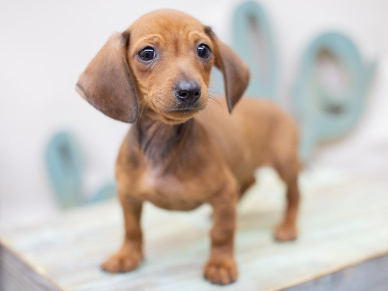Miniature Dachshund-Female-Red Smooth Coat-2397353-Petland Wichita, KS