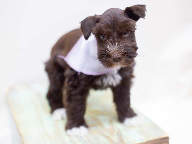 Miniature Schnauzer-Female-WHITE CHOCOLATE-2398405-Petland Wichita, KS