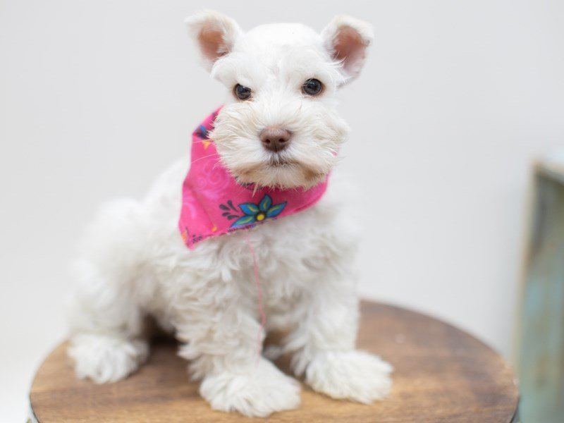 Miniature Schnauzer-Female-LIVER-2398407-Petland Wichita, KS