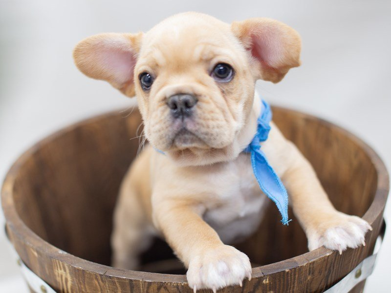 French Bulldog-Male-Red-2410772-Petland Wichita, KS