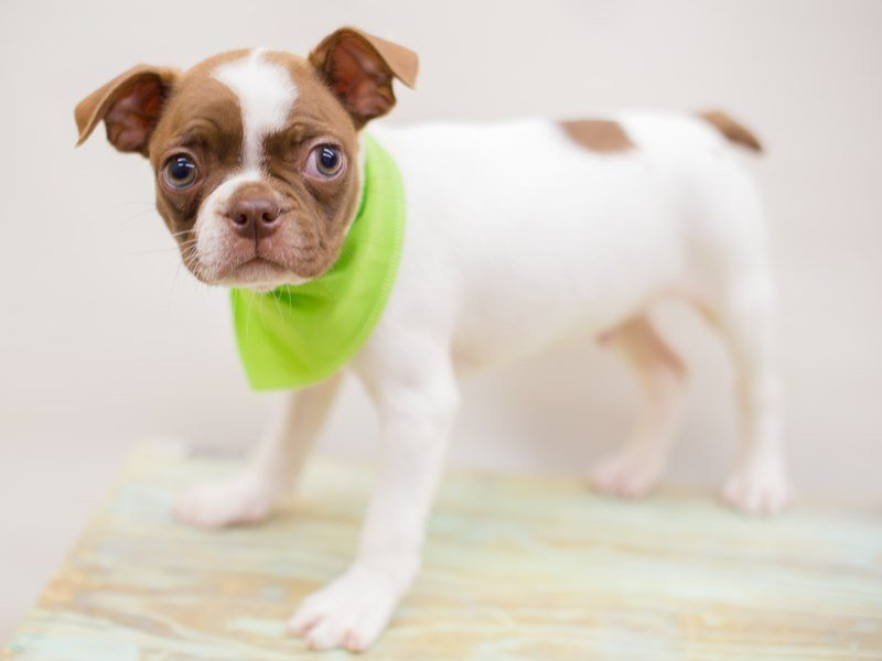 Boston Terrier-Male-Red Splash-2380843-Petland Wichita, KS