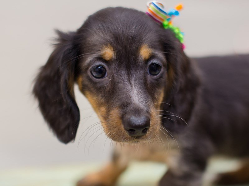 Miniature Dachshund-Female-Long Hair Tri Color-2380983-Petland Wichita, KS