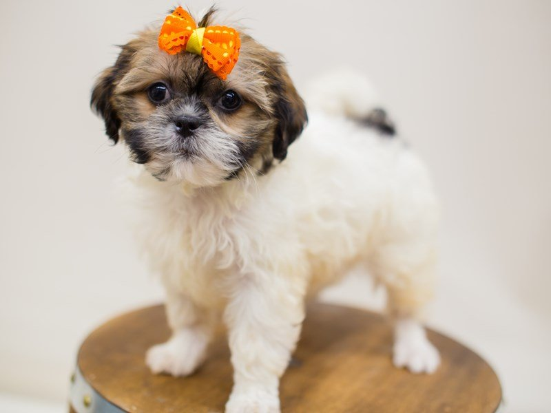 Shih Poo-DOG-Female-Gold & White-2387005-Petland Wichita, KS