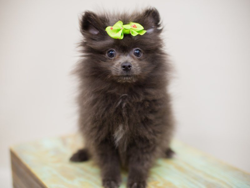Pomeranian-DOG-Female-Blue-2387068-Petland Wichita, KS