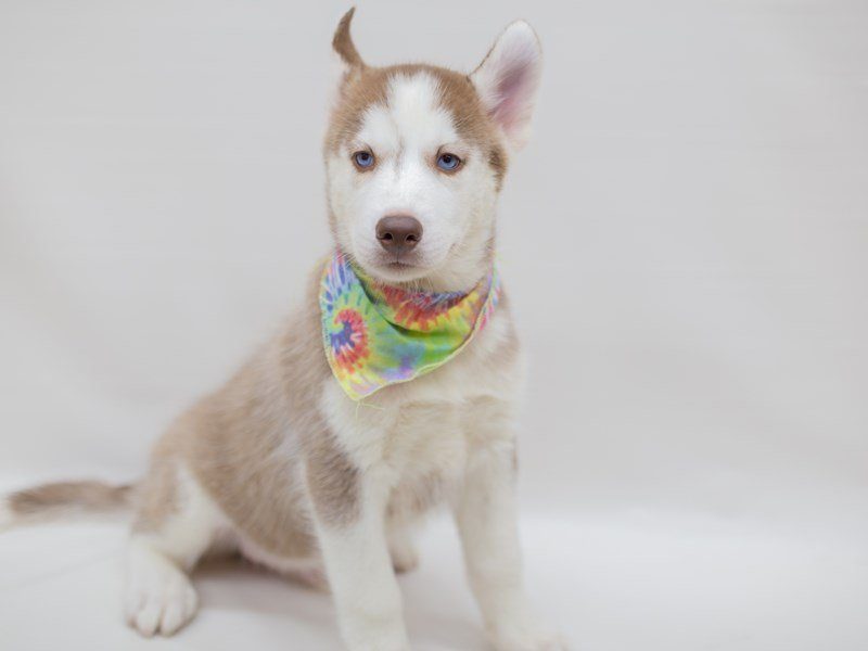 Siberian Husky-Male-RED & WHITE-2391767-Petland Wichita, KS
