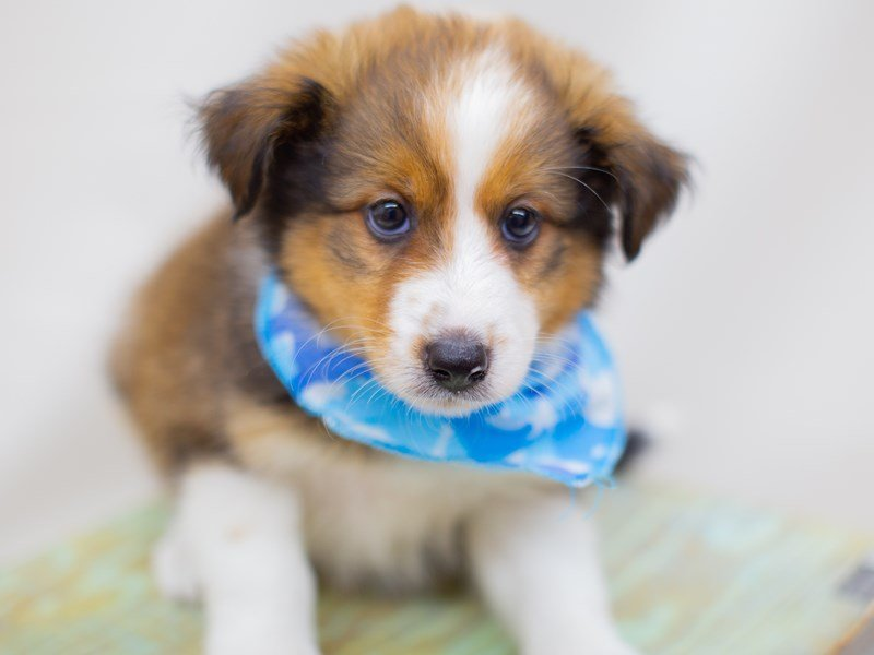 Miniature Shel-Aussie-Male-Dark Sable-2391610-Petland Wichita, KS