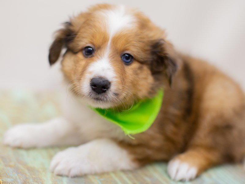Miniature Shel-Aussie-Male-Dark Sable Merle-2391608-Petland Wichita, KS