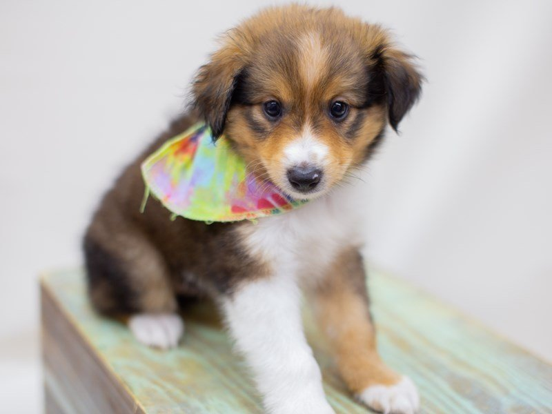 Miniature Shel-Aussie-DOG-Male-Dark Sable-2391606-Petland Wichita, KS