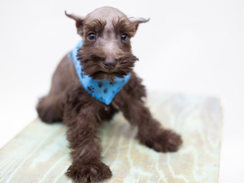 Miniature Schnauzer-Male-Chocolate-2399070-Petland Wichita, KS