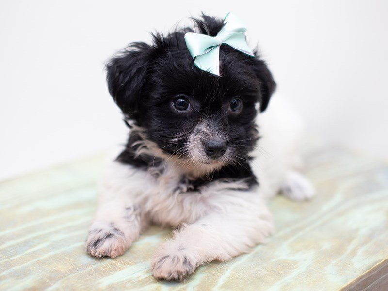 Havanese-Female-Black and White-2398977-Petland Wichita, KS
