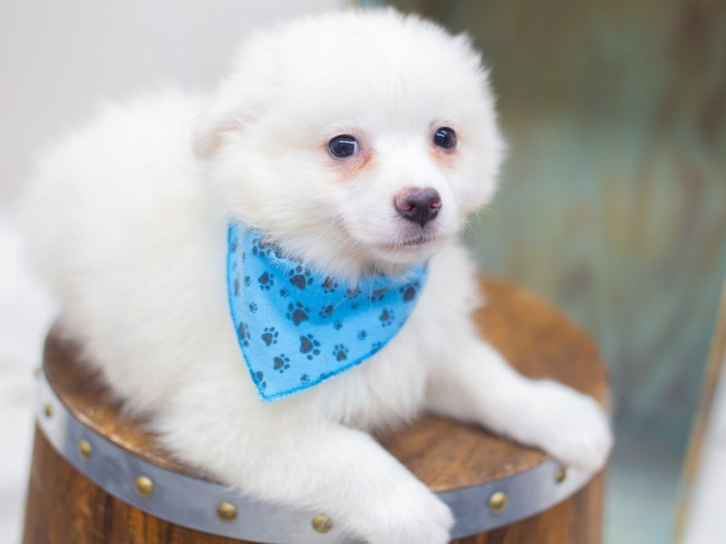 American Eskimo-Male-White-2404957-Petland Wichita, KS