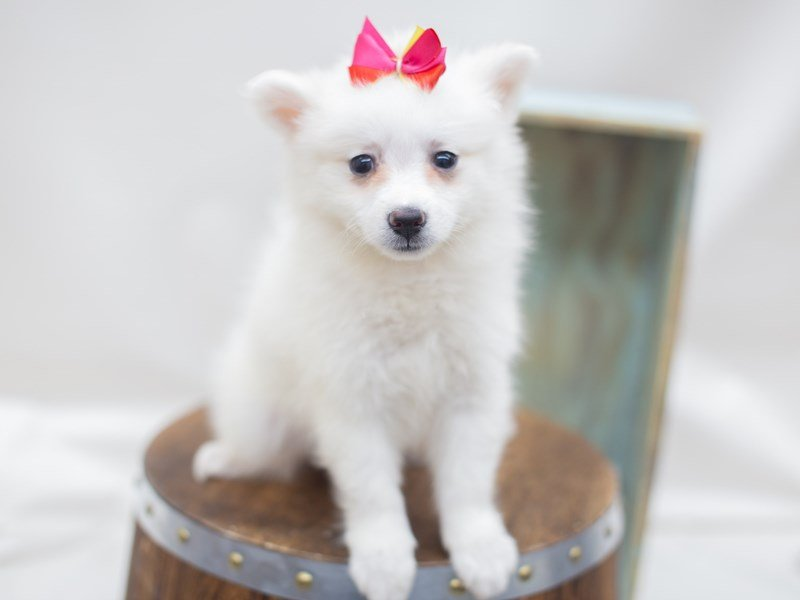 American Eskimo-Female-White-2404947-Petland Wichita, KS