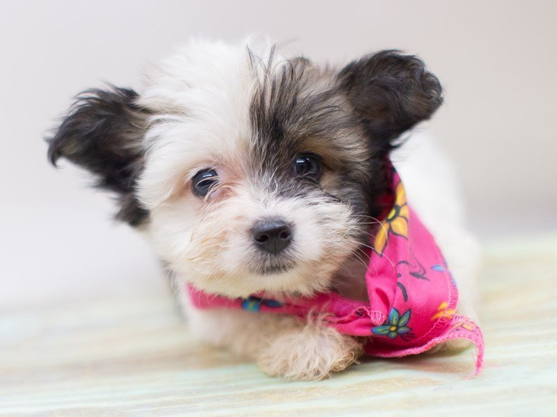 Havanese-Female-Tri Color-2411000-Petland Wichita, KS