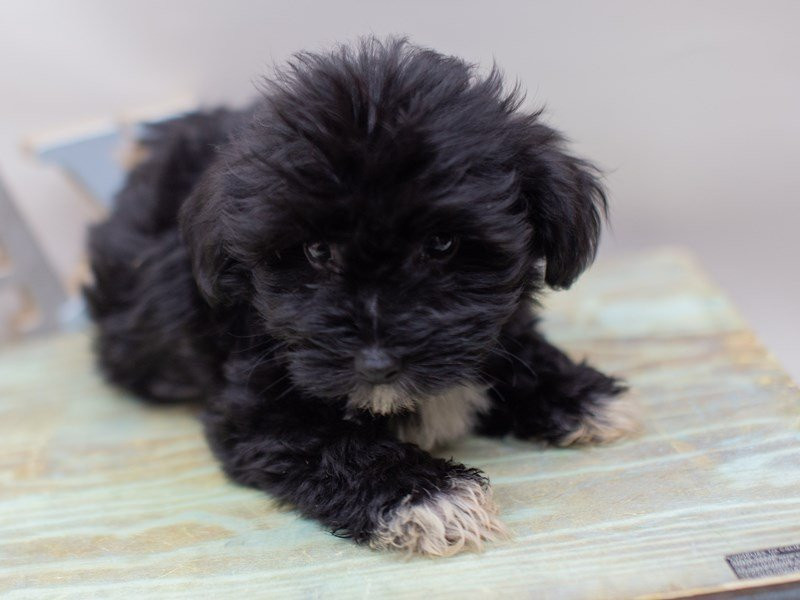 Havanese-DOG-Male-Black-2410996-Petland Wichita, KS