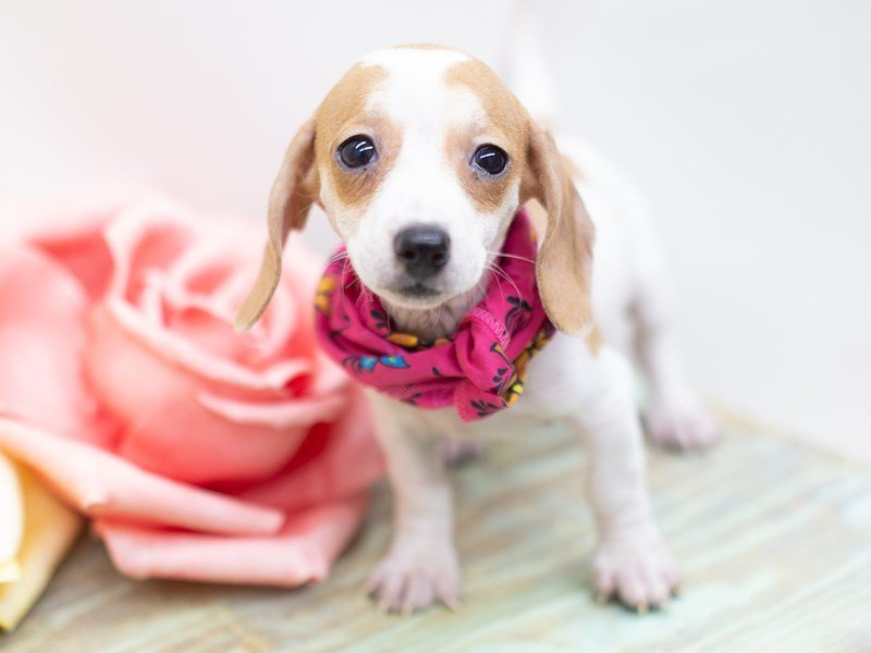 Miniature Dachshund-DOG-Female-Piebald-2410993-Petland Wichita, KS