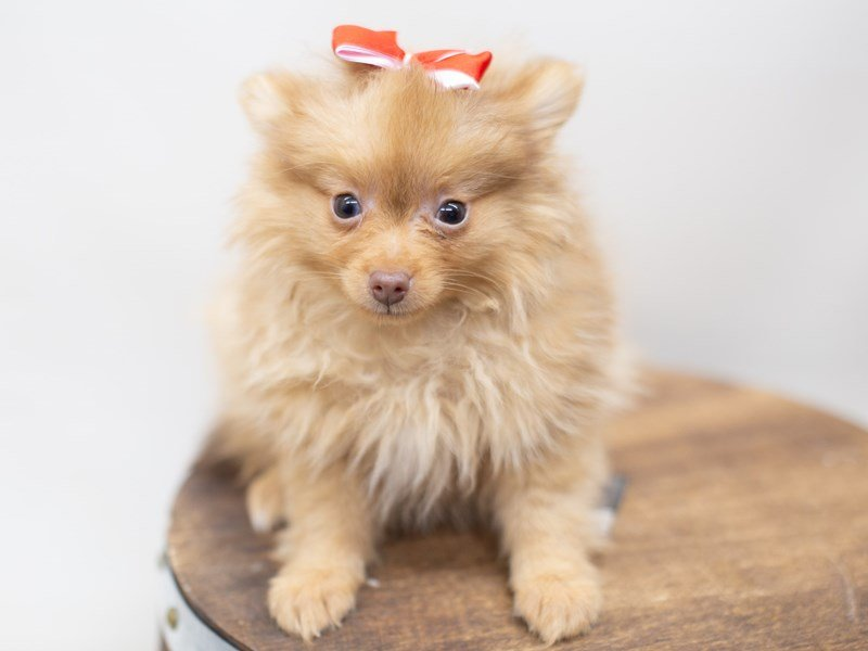 Pomeranian-Male-Red-2410733-Petland Wichita, KS