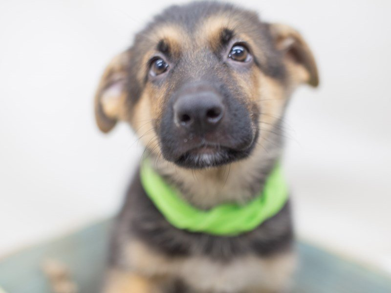 German Shepherd Dog-Female-BLACK & TAN-2410492-Petland Wichita, KS