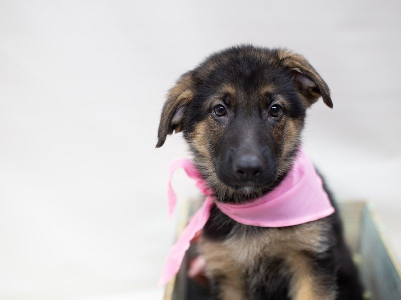 German Shepherd Dog-Female-BLACK & TAN-2410488-Petland Wichita, KS