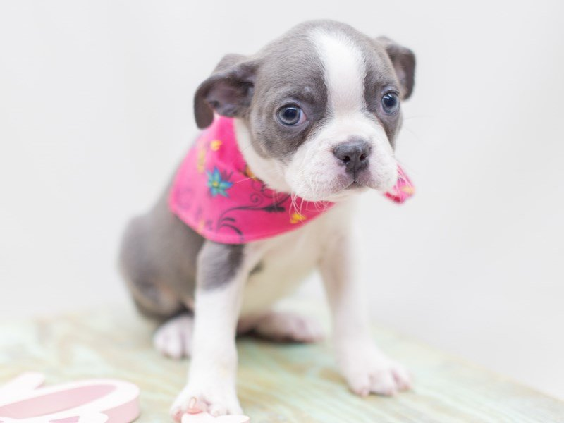 Boston Terrier-Female-Blue & White-2410484-Petland Wichita, KS