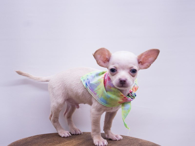 Chihuahua-Male-Cream-2416824-Petland Wichita, KS