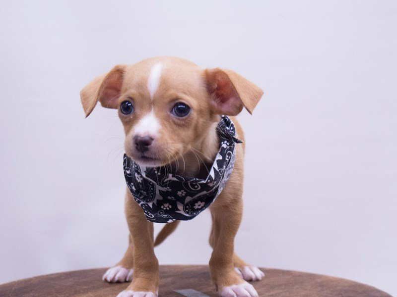 Chihuahua-Male-Red-2416817-Petland Wichita, KS