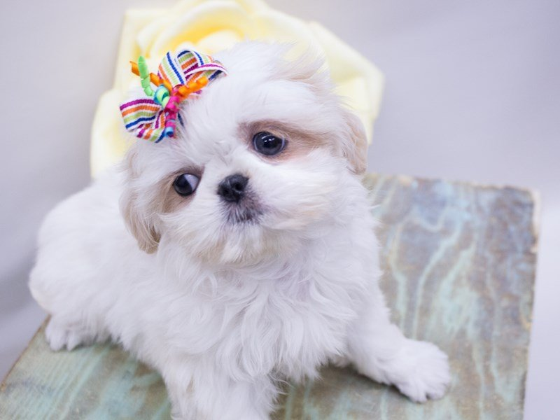 Shih Tzu-DOG-Female-Cream and White-2416727-Petland Wichita, KS