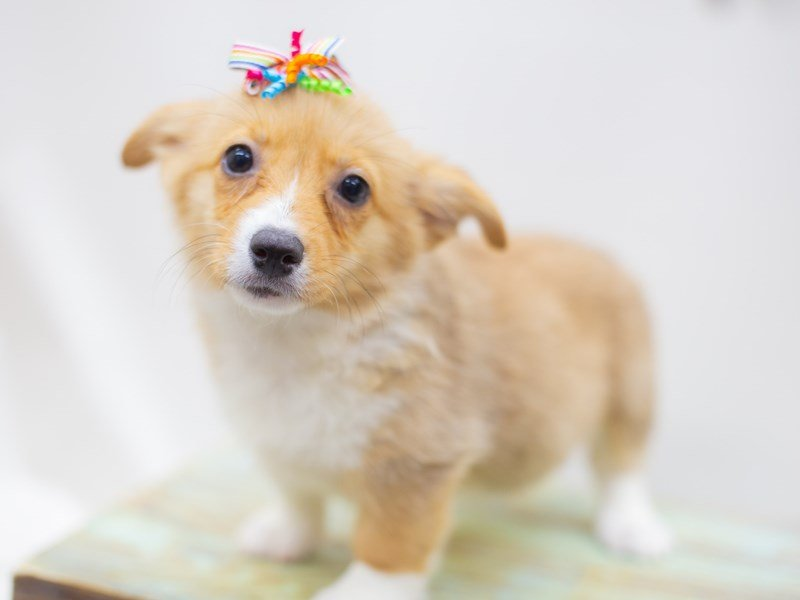 Pembroke Welsh Corgi-DOG-Female-Sable and White-2422754-Petland Wichita, KS