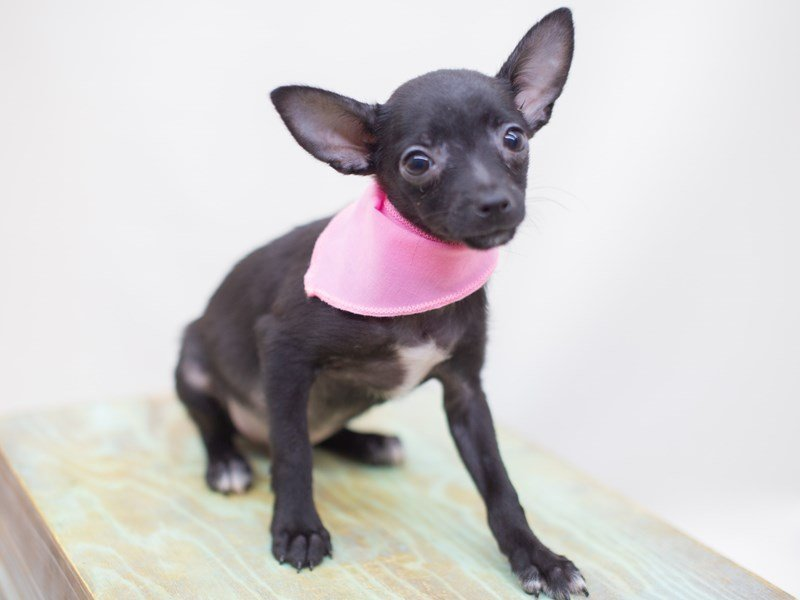 Pomchi-Female-Black-2423544-Petland Wichita, KS