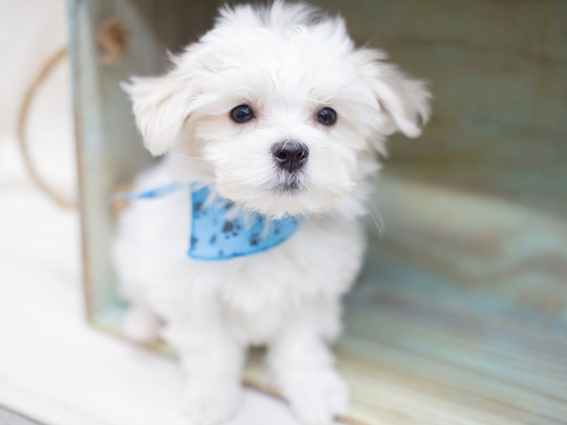 Maltese-Male-White-2416835-Petland Wichita, KS