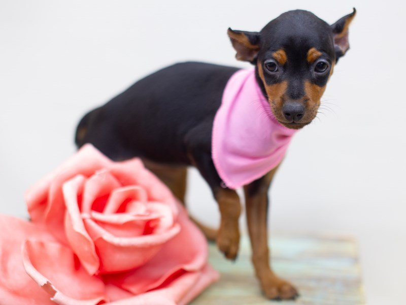 Miniature Pinscher-Female-Black and Tan-2422706-Petland Wichita, KS