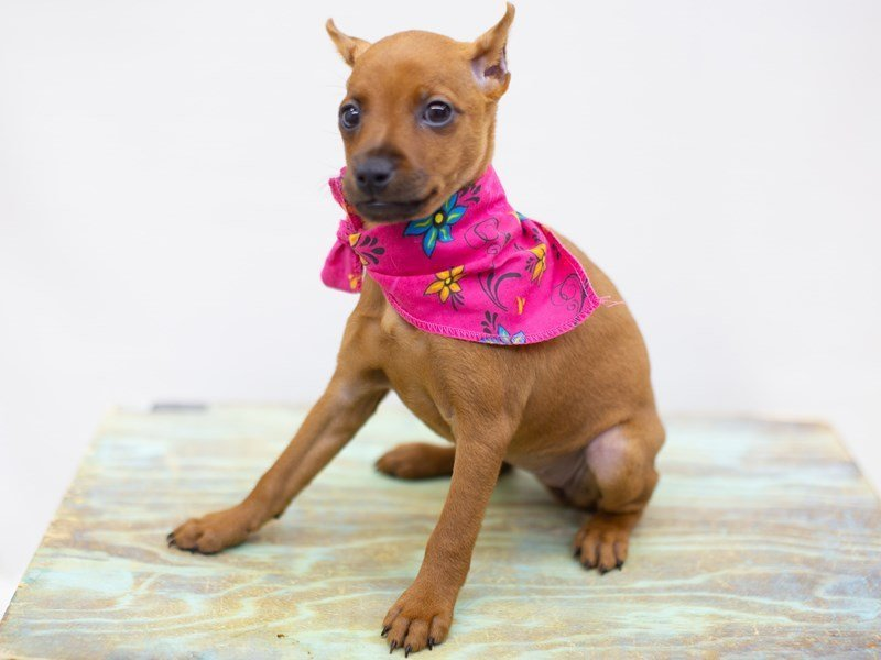 Miniature Pinscher-Female-Red-2422707-Petland Wichita, KS