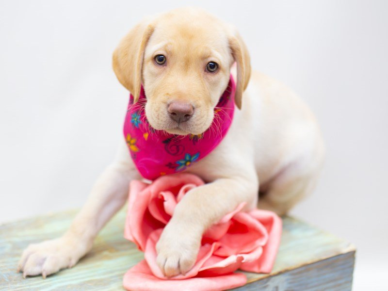 Labrador Retriever-DOG-Female-Yellow-2422740-Petland Wichita, KS