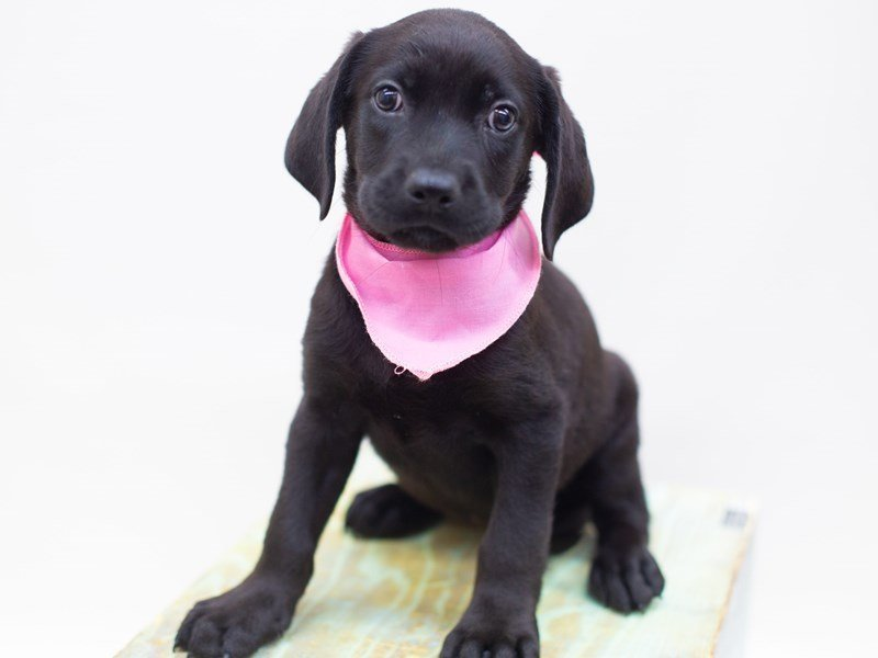 Labrador Retriever-DOG-Female-Black-2422743-Petland Wichita, KS