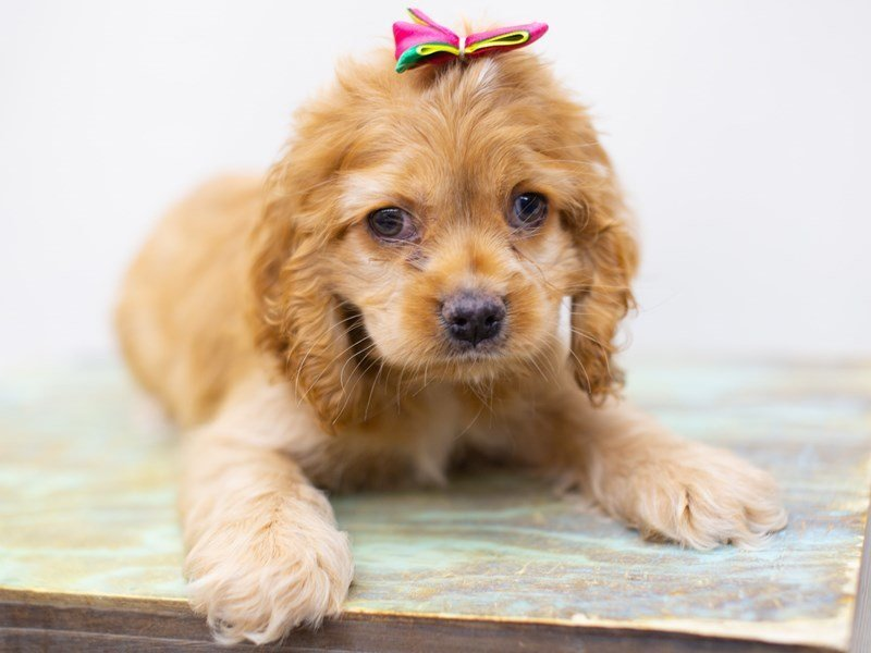 Cocker Spaniel-Female-Buff-2422766-Petland Wichita, KS