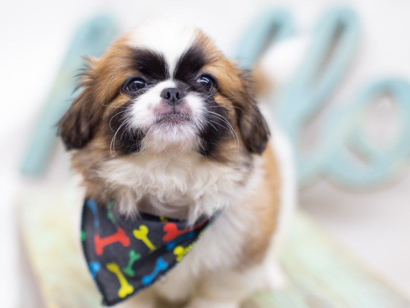 Pekingese-Male-White and Sable-2422786-Petland Wichita, KS
