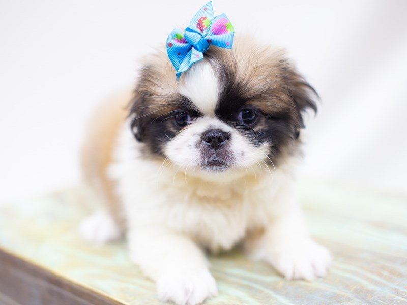 Pekingese-Female-White and Sable-2422788-Petland Wichita, KS