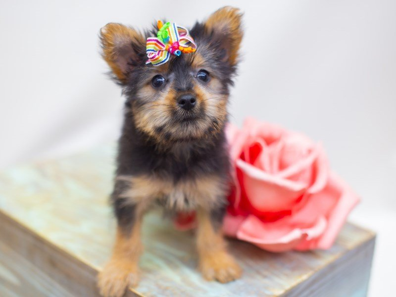 Silky Terrier-Female-Black and Tan-2423067-Petland Wichita, KS