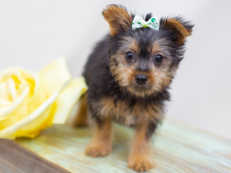 Silky Terrier-Female-Black and Tan-2423080-Petland Wichita, KS
