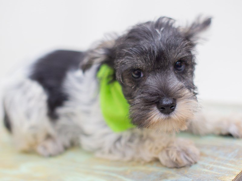 Miniature Schnauzer-DOG-Male-Black and White Parti-2423537-Petland Wichita, KS