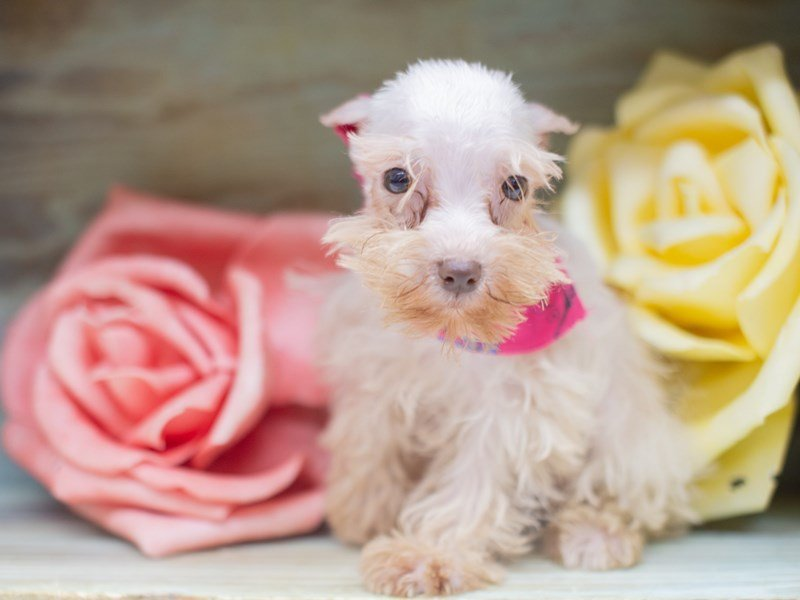 Miniature Schnauzer-Female-White-2423542-Petland Wichita, KS