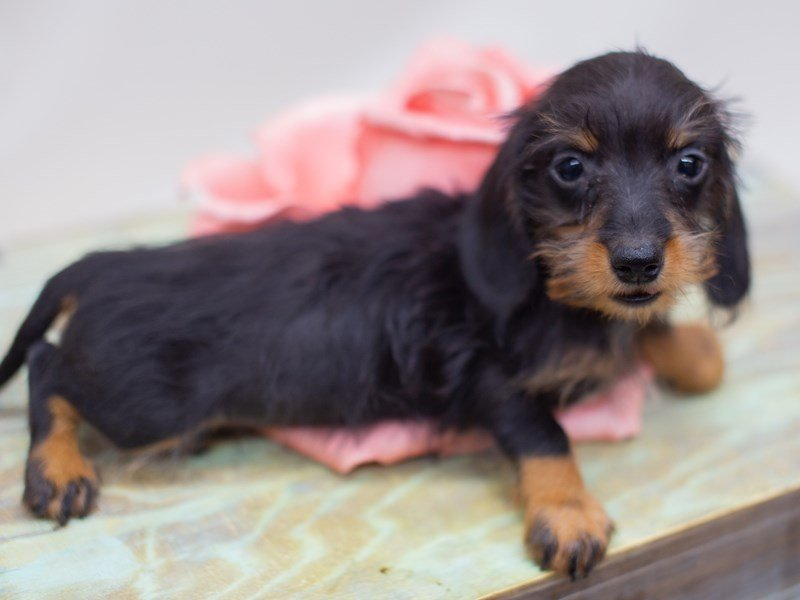 Miniature Dachshund-Female-Black and Tan Wire Hair-2423547-Petland Wichita, KS