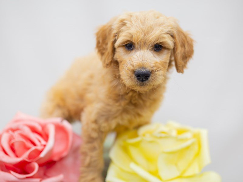 Goldendoodle-Female-Golden-2429051-Petland Wichita, KS
