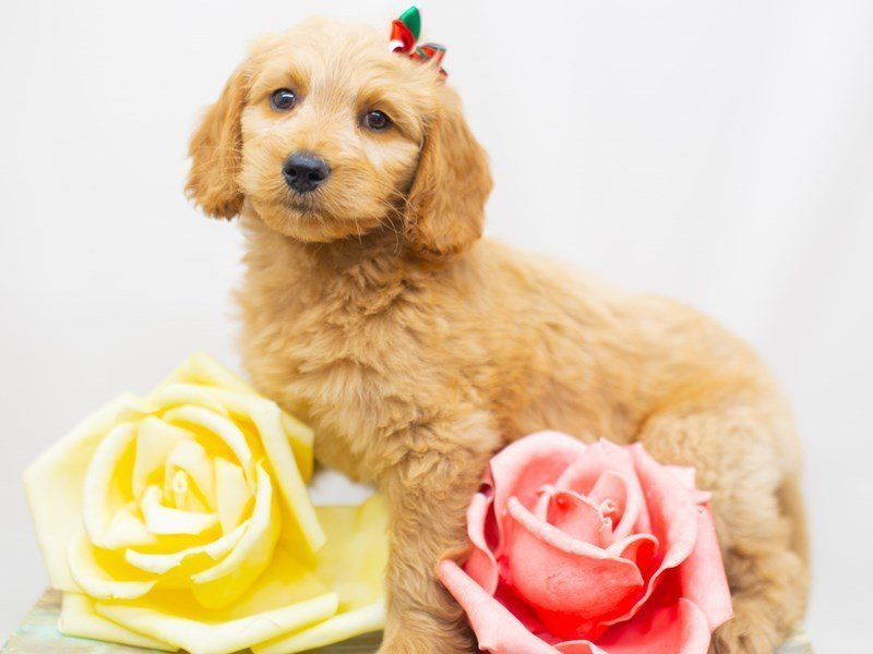 Goldendoodle-Female-Golden-2429018-Petland Wichita, KS
