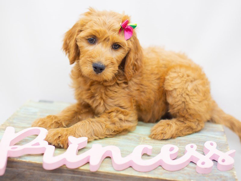 Goldendoodle-DOG-Female-Golden-2429016-Petland Wichita, KS
