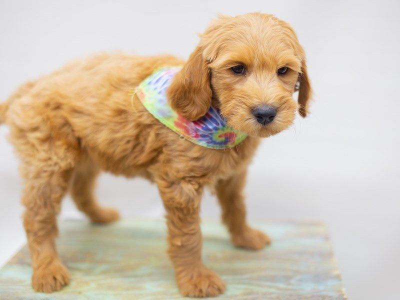 Goldendoodle-Male-Golden-2429010-Petland Wichita, KS