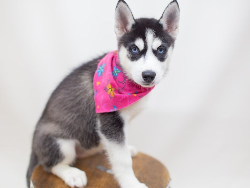 Siberian Husky-Female-Black and White-2428863-Petland Wichita, KS