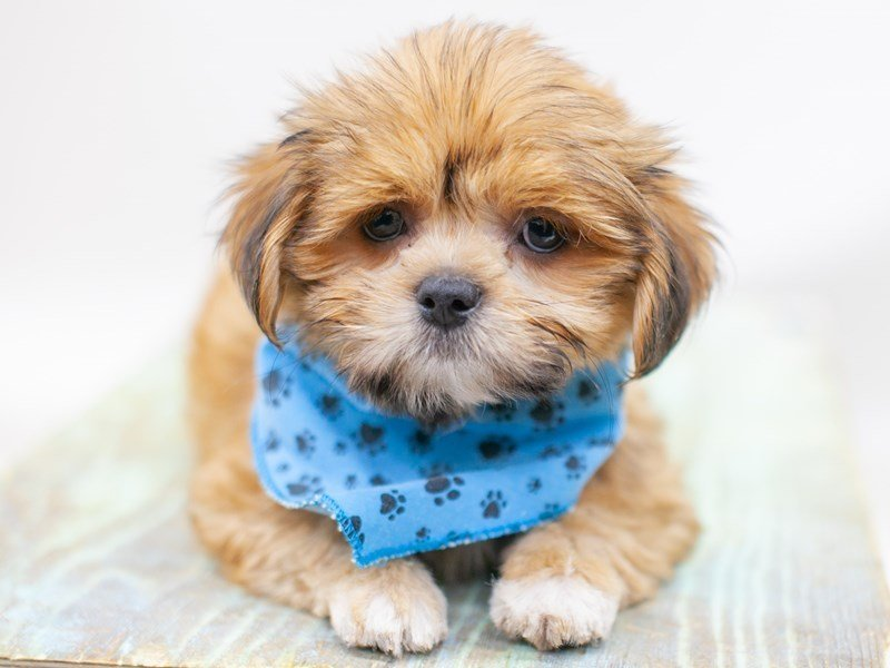 Lhasa Apso-Male-Gold Black Mask-2435743-Petland Wichita, KS