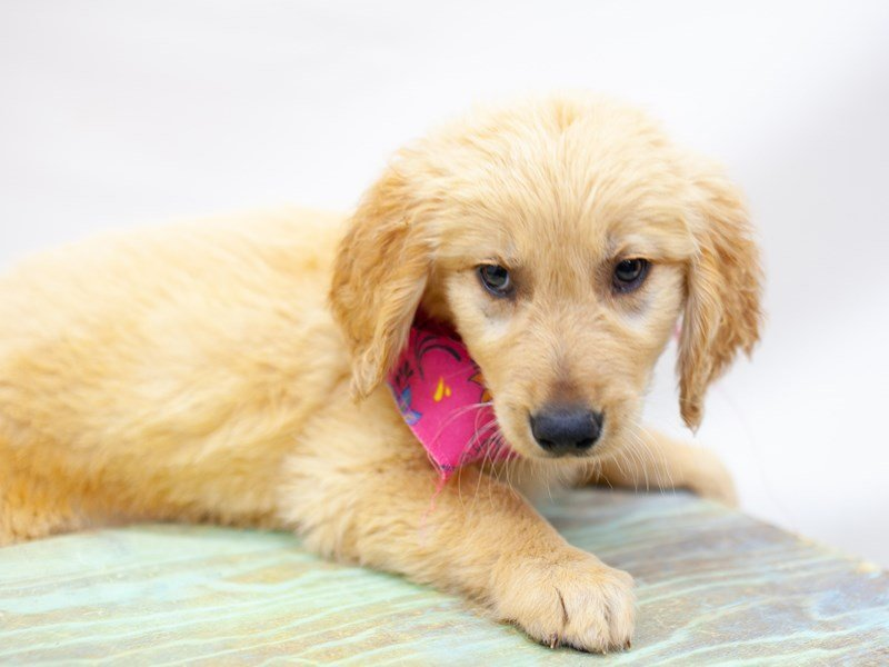 Golden Retriever-DOG-Female-Golden-2435666-Petland Wichita, KS